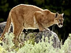 Mountain Lion Spotted in Portola Valley